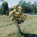 Guru - Roses