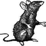 Mattie Ginsberg - THE RAT