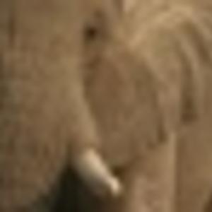 Elephant - Tonight