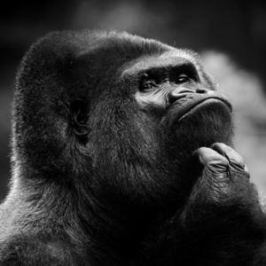 wozea - Gorillas In The Mist