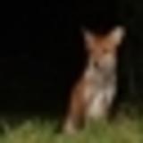 james rivington - foxes acoustic