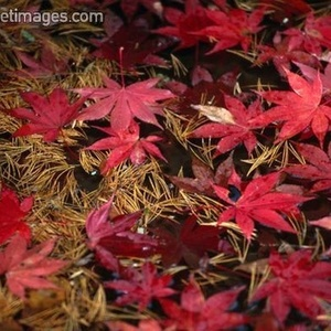 Gilbert - Red leaves floating on the water