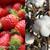 Strawberry-Cotton